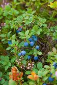 Vilda blåbär — Stockfoto