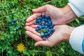 Wild ripe blueberry. — Stock Photo