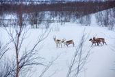 Reindeer. — Stock Photo