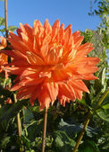 Orange flower of the dahlia — Stock Photo