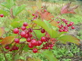 Branch of the red viburnum — Stock Photo