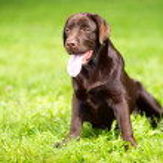 Young chocolate labrador retriever sitting on green grass — Stock Photo #12302864