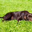 Young chocolate labrador retriever lying on green grass — Photo