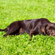 Young chocolate labrador retriever lying on green grass — Foto Stock