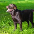 Foto de Stock  : Young chocolate labrador retriever standing on green grass