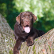 Young chocolate labrador retriever sitting iontree in park — Zdjęcie stockowe #12302860