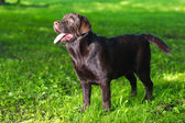 Young chocolate labrador retriever standing on green grass — Stock Photo