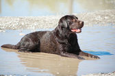 Young chocolate labrador retriever lying in puddle — Stock Photo