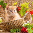 British kitten sitting in a basket with mountain ash — Stock Photo