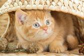 Chaton british regardant dessous une nacelle — Photo