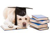 Labrador retriever with hat of bachelor reading books on isolated white — Stock Photo