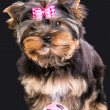Lovely puppy of Yorkshire terrier with pink bow and ball - Stock Photo