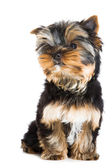 Puppy of Yorkshire terrier sitting on isolated white — Stock Photo