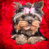 Puppy of Yorkshire terrier with pink bow lying on red pillow — Stock Photo