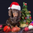Dachshund with red santa cap near decorated Christmas tree — Stock Photo #18115765