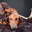 Stock Photo: Rest of red and chocolate dachshund dogs after hunting
