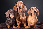 Tři červené a čokoládové jezevčík psi — Stock fotografie
