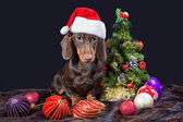 Dachshund with red santa cap near decorated Christmas tree — Stock Photo