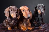 Three dachshund dogs — Stock Photo
