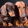 Royalty-Free Stock Photo: two red and chocolate dachshund dogs