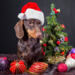 Dachshund with red santa cap near decorated Christmas tree - Zdjęcie stockowe