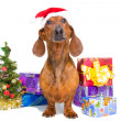 Red dachshund with near Christmas tree on isolated white - Stockfoto