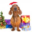 Red dachshund with near Christmas tree on isolated white - Zdjęcie stockowe