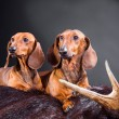 Two red dachshund dogs with hunting trophy - Stockfoto