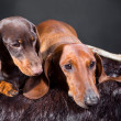 Red and chocolate dachshund dogs with hunting trophy - Stockfoto