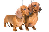 Two red dachshund dogs on isolated white — Stock Photo