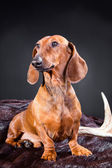 Red dachshund with hunting trophy — Stock Photo