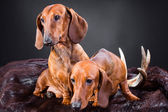 Two red dachshund dogs with hunting trophy — Stock Photo