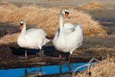 Dvě bílé labutě, kousek od jezera — Stock fotografie