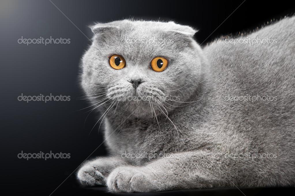 可爱蓝色苏格兰折的金色眼睛的猫在黑色背景上
