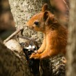 Cute red squirrel on a tree — Stock Photo #29699365