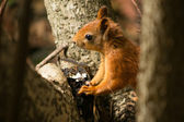 Cute red squirrel on a tree — Stock Photo