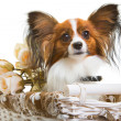 Papillon dog in basket with flowers on isolated white — Stock Photo