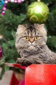 Persian kitten sitting in red box under Christmas tree — Stock Photo