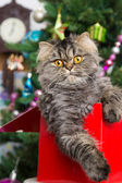 Persian kitten sitting in red box under Christmas tree — Stock Photo