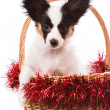 Papillon puppy sitting in Christmas basket on isolated white — Stock Photo