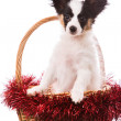 Papillon puppy sitting in Christmas basket on isolated white — Stock Photo #41396251