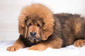 little security guard -  red puppy of Tibetan mastiff — Stock Photo