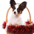Papillon puppy sitting in Christmas basket on isolated white — Stock Photo #45202259