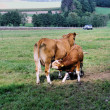 A cow with her little calf — Stock Photo #12834754