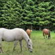 Horses on the pasture — Stock Photo