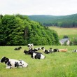 A herd of cows — Stock Photo