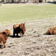 Scottish highland cattle on a pasture — Stock Photo #12930622