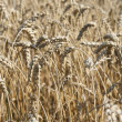 View in a wheatfield — Stock Photo