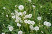 Dandelions in summer — Stock Photo