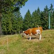 Stock Photo: Brown-white cow